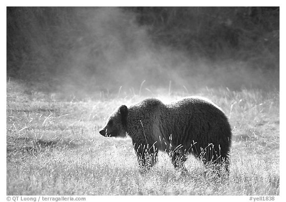 Grizzly bear and thermal steam. Yellowstone National Park, Wyoming, USA.