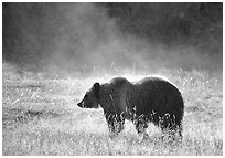 Grizzly bear and thermal steam. Yellowstone National Park, Wyoming, USA. (black and white)