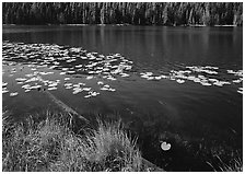 Water lilies and pond. Yellowstone National Park, Wyoming, USA. (black and white)