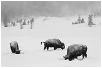 Snow-covered bison in winter. Yellowstone National Park ( black and white)