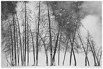 Bare trees and steam in winter. Yellowstone National Park ( black and white)