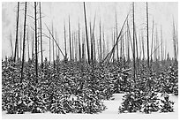Sapplings and burned trees in winter. Yellowstone National Park, Wyoming, USA. (black and white)