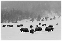 Herd of buffaloes during snow storm. Yellowstone National Park, Wyoming, USA. (black and white)