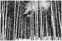 Bright trees in burned forest and clouds. Yellowstone National Park ( black and white)
