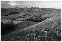 Grasses and flowers on Specimen ridge, sunset. Yellowstone National Park, Wyoming, USA. (black and white)