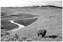 Bison and creek, Hayden Valley. Yellowstone National Park, Wyoming, USA. (black and white)