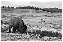Buffalo, Hayden Valley. Yellowstone National Park, Wyoming, USA. (black and white)