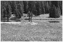 Purple flowers and pine trees. Yellowstone National Park, Wyoming, USA. (black and white)