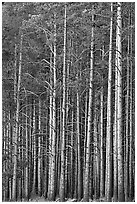 Dense Lodgepole pine forest, dusk. Yellowstone National Park ( black and white)