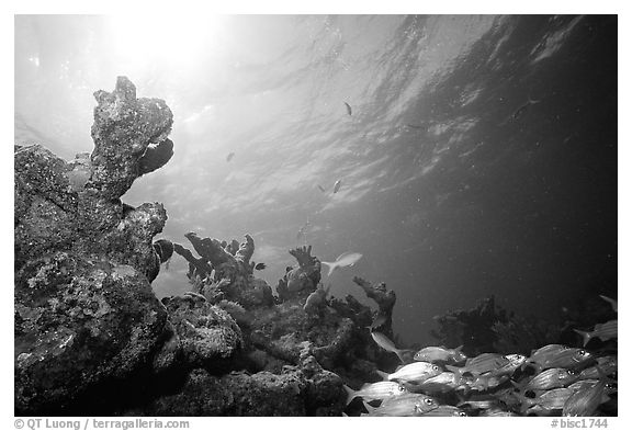Smallmouth grunts and coral. Biscayne National Park (black and white)