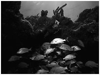 Smallmouth grunts under overhanging rock. Biscayne National Park, Florida, USA. (black and white)