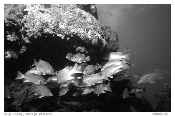 Yellow snappers under an overhang. Biscayne National Park (black and white)