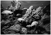 Yellow snappers and soft coral. Biscayne National Park, Florida, USA. (black and white)