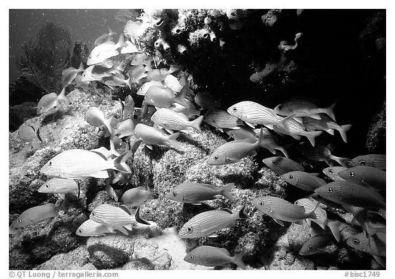 School of yellow snappers and rock. Biscayne National Park (black and white)