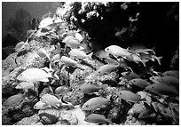 School of yellow snappers and rock. Biscayne National Park, Florida, USA. (black and white)
