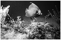 Tropical Fish. Biscayne National Park, Florida, USA. (black and white)