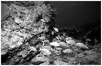 School of fish and rock. Biscayne National Park, Florida, USA. (black and white)