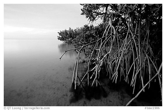 Mangal on Elliott Key, sunset. Biscayne National Park (black and white)