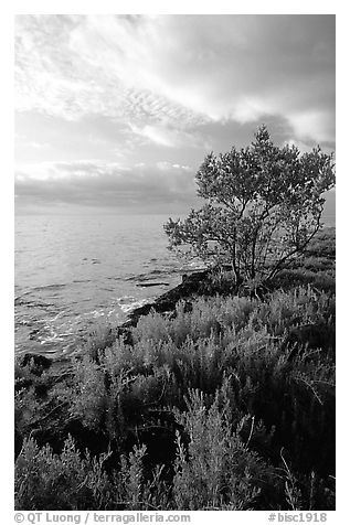Saltwart plant community and tree on Atlantic coast, Elliott Key. Biscayne National Park (black and white)