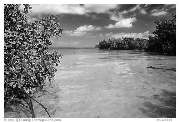 Mangrove forest on fringe of Elliott Key, mid-day. Biscayne National Park (black and white)
