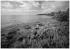 Saltwarts  on Atlantic ocean side, morning, Elliott Key. Biscayne National Park, Florida, USA. (black and white)