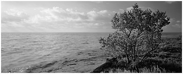 Tree on Atlantic Ocean shore. Biscayne National Park (Panoramic black and white)