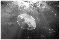 Jellyfish and sunrays below mangroves. Biscayne National Park ( black and white)