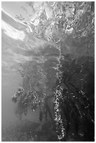 Mangrove roots and surface reflections. Biscayne National Park ( black and white)
