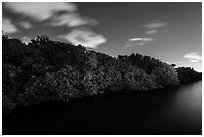 Row of mangroves trees at night, Convoy Point. Biscayne National Park ( black and white)
