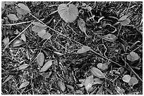 Fallen mangrove leaves, beached seagrass. Biscayne National Park ( black and white)