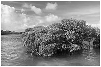 Mangrove and clear water, Swan Key. Biscayne National Park ( black and white)