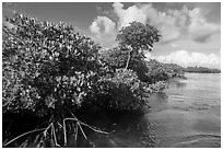 Mangrove shore, Swan Key. Biscayne National Park ( black and white)