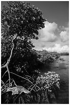 Tall mangrove tree, Swan Key. Biscayne National Park ( black and white)