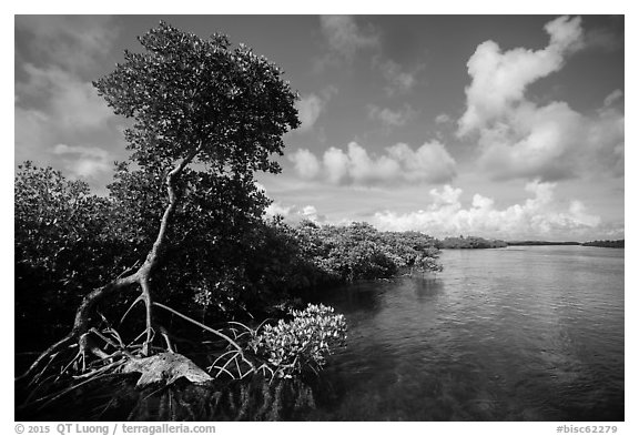 Tall mangrove tree and channel, Swan Key. Biscayne National Park (black and white)