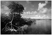 Tall mangrove tree and channel, Swan Key. Biscayne National Park ( black and white)
