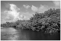 Shore with mangroves, Swan Key. Biscayne National Park ( black and white)
