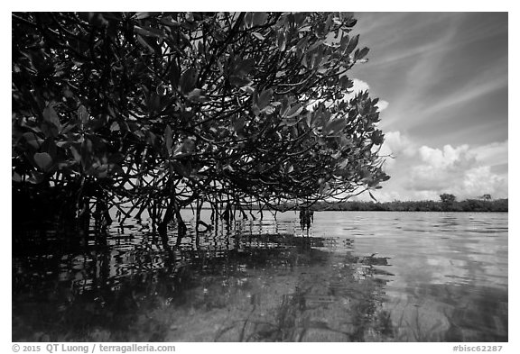 Mangrove and reflections in glassy water. Biscayne National Park (black and white)