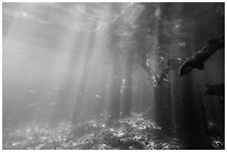 Sunrays and mangrove roots, Convoy Point. Biscayne National Park ( black and white)