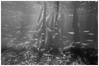 Fish swim amongst mangroves, Convoy Point. Biscayne National Park ( black and white)