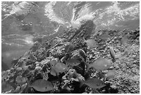 Fish, Windjammer Wreck, and surge. Dry Tortugas National Park, Florida, USA. (black and white)