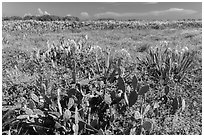 Prickly Pear cactus, Loggerhead Key. Dry Tortugas National Park ( black and white)