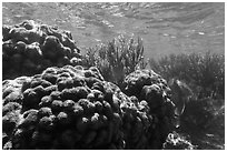 Coral in shallow reef, Little Africa, Loggerhead Key. Dry Tortugas National Park ( black and white)