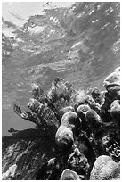 Brain and fan corals, Little Africa, Loggerhead Key. Dry Tortugas National Park ( black and white)