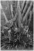 Cactus and brick walls. Dry Tortugas National Park ( black and white)