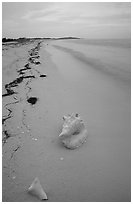 Conch shell and sand beach on Bush Key. Dry Tortugas National Park ( black and white)