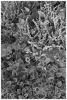 Ground vegetation, Garden Key. Dry Tortugas National Park ( black and white)