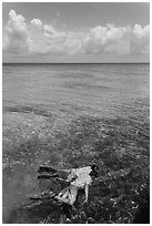 Man and boy snorkeling on reef. Dry Tortugas National Park ( black and white)