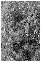 Coral underwater seen from above, Garden Key. Dry Tortugas National Park ( black and white)