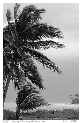 Wind in Palm trees. Dry Tortugas National Park (black and white)