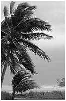 Wind in Palm trees. Dry Tortugas National Park ( black and white)